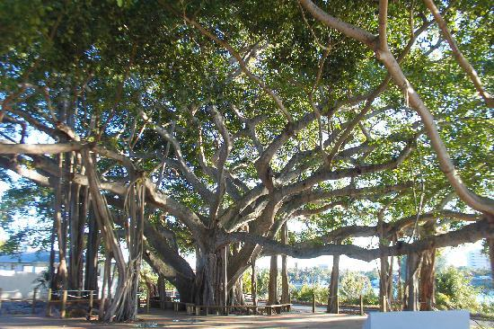 Jupiter Inlet Lighthouse & Museum : The old banyan tree