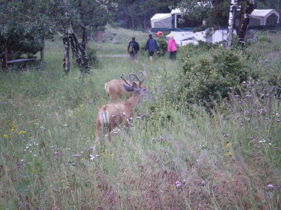 Moraine Park Campground: mule deer in Moraine camp ground at dusk