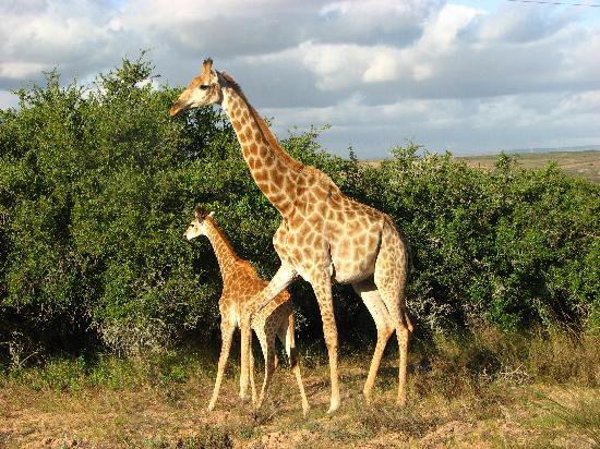 Albertina, South Africa: The giraffes