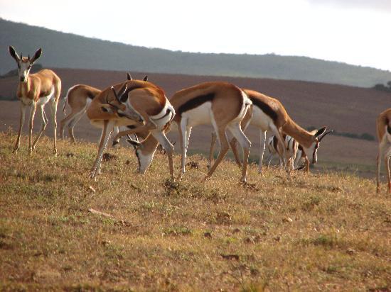 Garden Route Game Lodge: The springbok