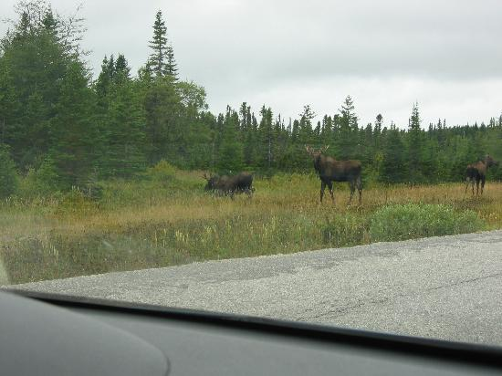Tuckamore Lodge: 2 bulls and a cow on the road near the lodge