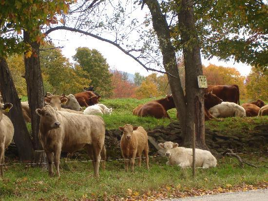Hollister Hill Farm B&B: Beefalo enjoying a fall afternoon