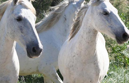 Sentoline, Ecotourisme en Provence Day Tours : Wonderful wild horses
