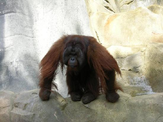 The Jackson Zoo: Orangutan