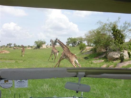 Sayari Camp, Asilia Africa: giraffe running