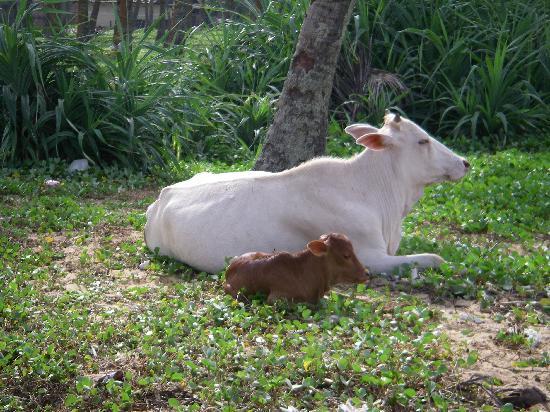 Villa Ocean View Hotel: cows on the beach