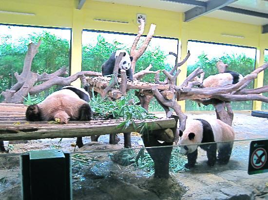 Chimelong Safari Park : Giant Pandas