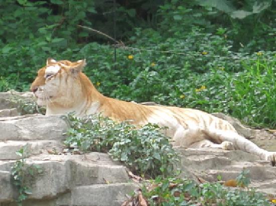 Chimelong Safari Park : Golden Tiger