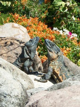 Hyatt Ziva Puerto Vallarta: Poolside Iguanas