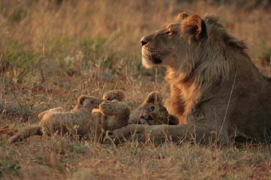 Tswalu Kalahari Reserve: The Kalahari black maned lion