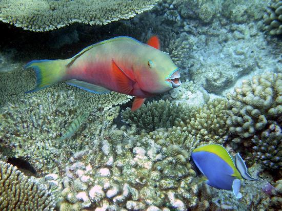 Bathala Island: pesci pappagallo e chirurgo