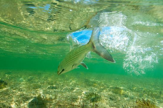 Abaco Lodge: Underwater bonefish