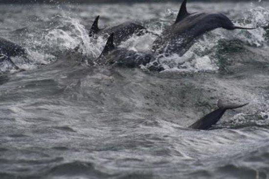 Socotra Island, เยเมน: Dolphins in Socotra