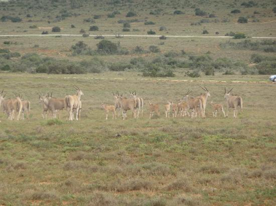 Addo Rest Camp: antelopes