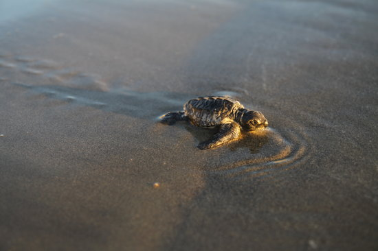 Bucerias, Mexico: Turtle watching