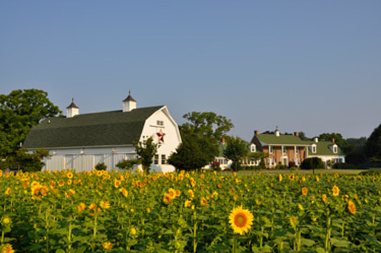 Inn at Huntingfield Creek: Sunflower Time at the Inn