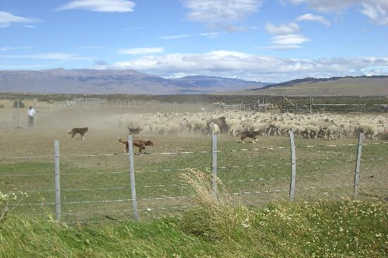 Estancia Tercera Barranca: Dogs herding sheep