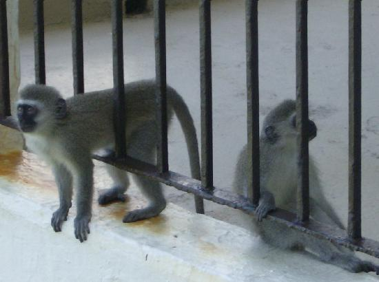 Cabana Beach Resort: The monkeys....lol