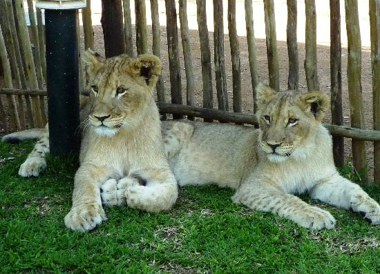 Ukutula Lodge : lions de 4 mois seulement