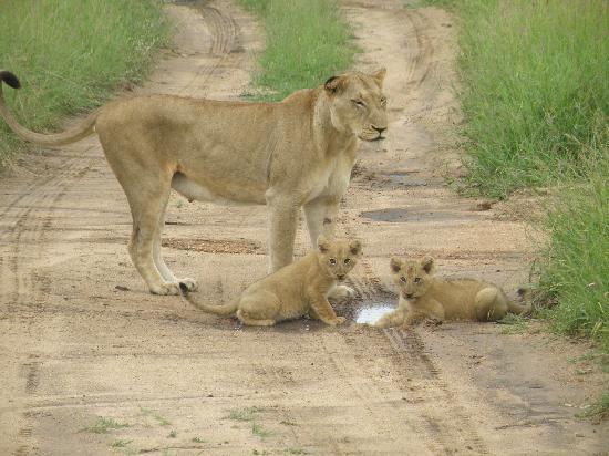Sabi Sabi Little Bush Camp : Lioness and cubs