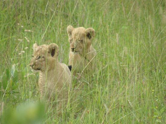 Sabi Sabi Little Bush Camp: Lion cubs