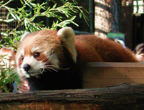 Nogeyama Zoo: レッサーパンダ