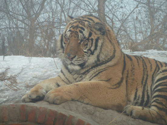 Harbin, China: sibirischer Tiger