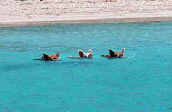 Great Exuma: pigs