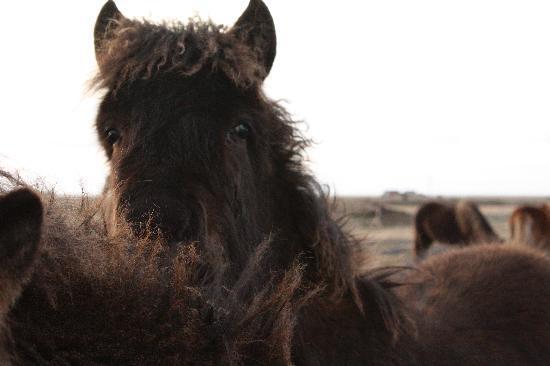 Reykjavik, Islândia: Des amis tres doux sur le bord des routes