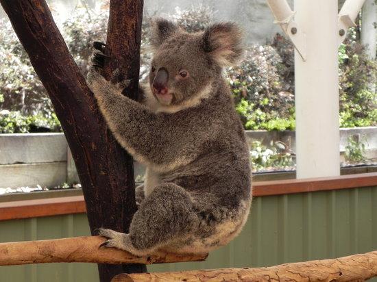 Brisbane, Australia: Koala!