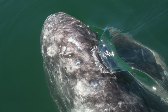 San Ignacio, Mexico: Whale Watching 2
