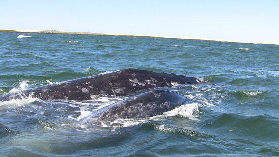 Fun Baja Whale Watching: mom and calf