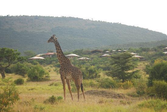 Mara Bushtops: campin background
