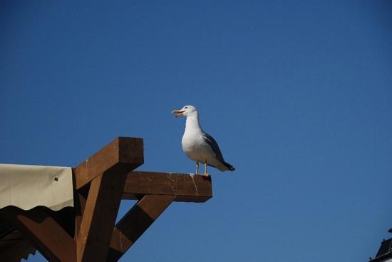 Nessebar, Bulgarije: Чайки в Несебре, как голуби...