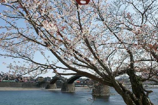 Puente de Kintaikyo: 桜は5分咲き