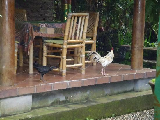 Suartha Pension : Crazy Roosters