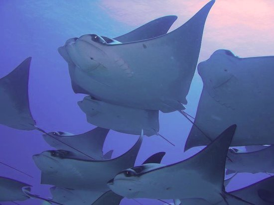 Manta Scuba: School of Rays at Lands End