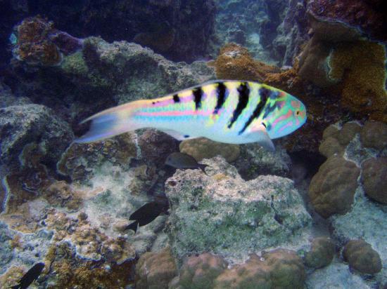 Hilton Bora Bora Nui Resort & Spa : Snorkeling
