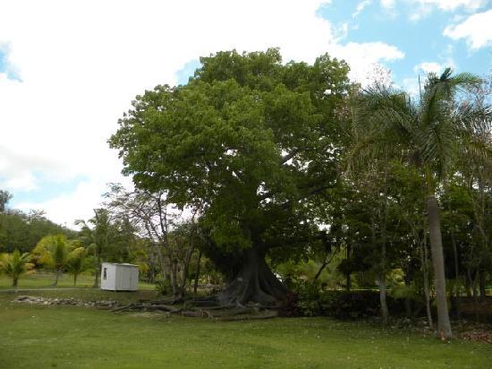 Nassau Botanical Gardens: Silk Cotton Tree