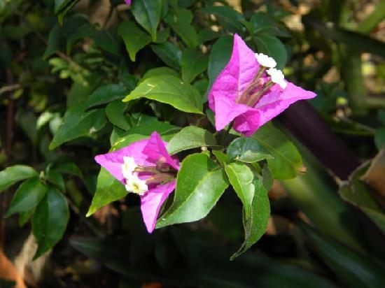 Nassau Botanical Gardens: Bougainvillia