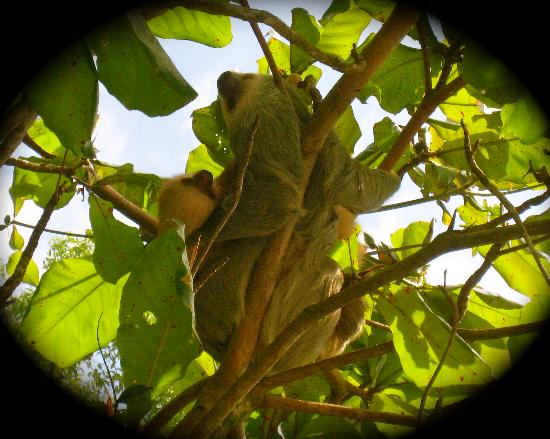Tulemar Bungalows & Villas : Mamma and Baby Sloth at Tulemar Beach