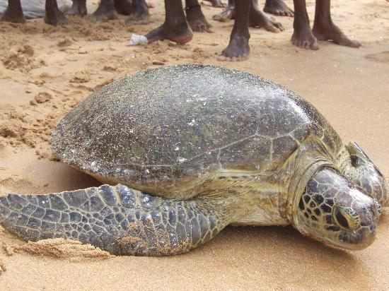 Hikkaduwa, Sri Lanka: set free back to the sea