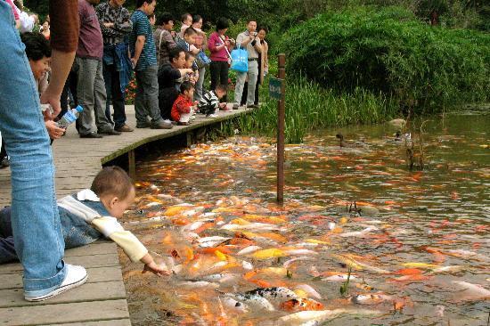 Les carpes chinoise de la réserve de Chengdu