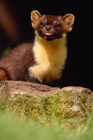 Beauly, UK : Pine Marten at Aigas