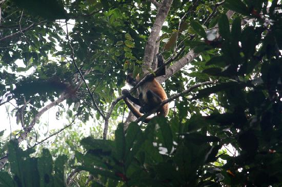 Korrigan Lodge: Spider monkey looking down at us from the trees above the bungalows.