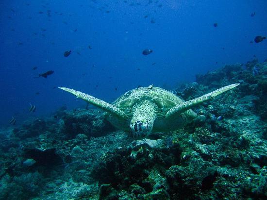 Pulau Sipadan, Malaysia: turtle coming !