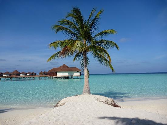 Robinson Club Maldives: Palm tree