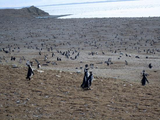 Punta Arenas, Chili : Penguins as far as the eye can see