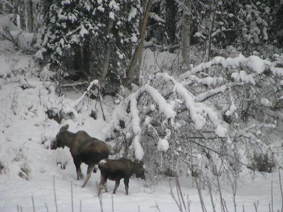 Riverbend Log Cabins & Cottage Rentals: Moose crossing frozen Chena River