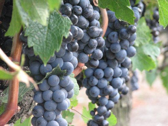 Canelones, Uruguay: uvas merlot listas para la vendimia